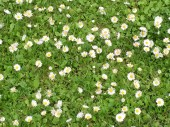 This patch of tiny English Daisies (Bellis perennis) has lasted forever.
