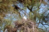 A fledgling Little Egret in the nest.