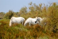 "The white horses of the Camargue are known as the breed ""Camarguais."""