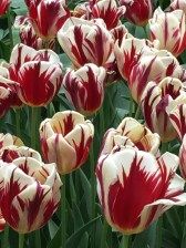 """Pictured is a Triumph tulip by the name of """"Grand Perfection."""" It probably most closely resembles the famous """"Semper Augustus"""" (""""Forever Magnificent"""") tulip, which commanded the highest prices in the 17th century. According to one source, """"Semper Augustus"""" was worth: """"two cartloads of wheat, four cartloads of rye, four fat oxen, eight fat pigs, a dozen fat sheep, four casks of wine, two barrels of beer, two tons of butter, a thousand pounds of cheese, a bed, a silver chalice, several articles of clothing, and a ship to carry everything in."""""""