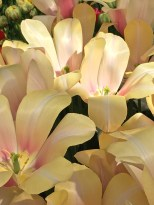 """Called """"Blushing Lady,"""" this Triumph tulip is as big as my hand. It reminds me of a magnolia blossom."""