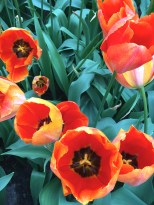 """These tulips belong to the largest and most important tulip class -- the """"Triumps."""" They're a cross between Single Early Tulips and later varieties. They have the classic turban shape, which is where the name """"tulip"""" originates. It's a Latinized version of the Turkish word """"tülbend,"""" meaning """"turban."""""""
