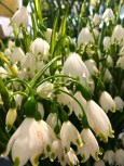 Who doesn't wait each spring for the first snowdrop (Galanthus sp.) to poke its head up? They're the earliest flowers you'll see, usually making an appearance at the end of February.