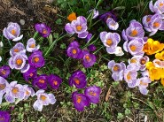 For the more American traditionalists, here's a splash of purple. Crocuses pop up everywhere, looking like little Easter eggs on everyone's lawn.