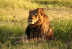 cecil the lion delta united bans wildlife trophies
