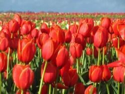 tulip farm oregon 9