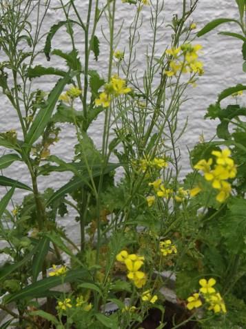 Flores de mostarda na decoração ®SKLindemann
