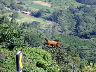 Macacos desfilam no vale em frente ao Ateliê ®SKLindemann