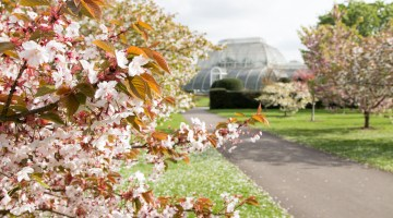 Kew Gardens with the Palm House and cherry blossoms
