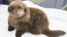 Angelcraft Crown Conservation - Meet  Luna the Shedd Aquarium's newest little baby sea otter