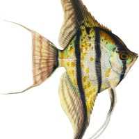 About Angel Fish Blog