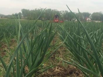 Garlic Crop
