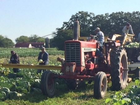 Cabbage Harvest