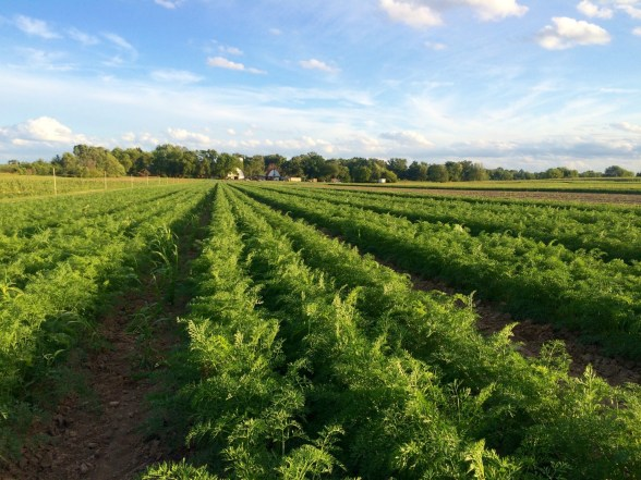 More carrots for Fall deliveries
