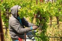 tying vines