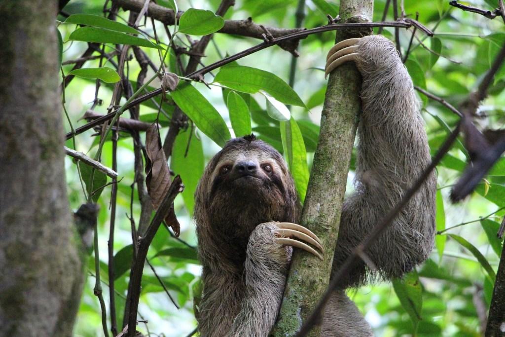 El perezoso se convierte en un símbolo nacional de Costa Rica