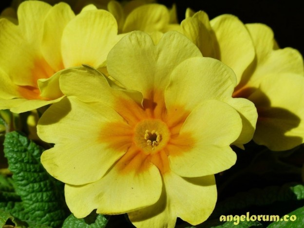 magickal uses for primrose