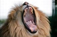 Yawning-lion2