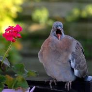 Yawning-pigeon