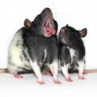 Yawning-rat