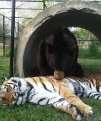 Baloo and Shere Khan