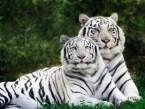 white-tigers-wallpaper-400x300