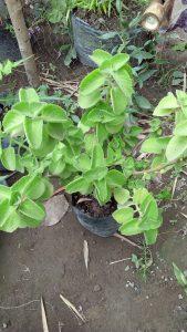 Manfaat daun jinten untuk kesehatan