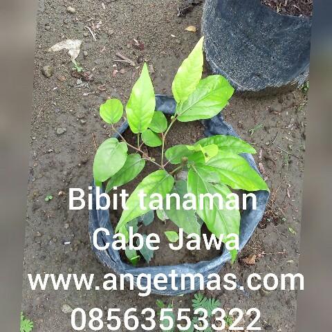 jual bibit tanaman cabe jawa