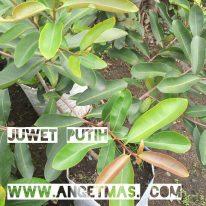 Tanaman buah juwet putih