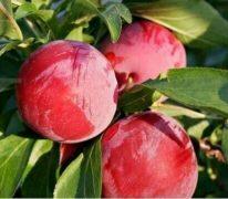 Tanaman buah pulm merah