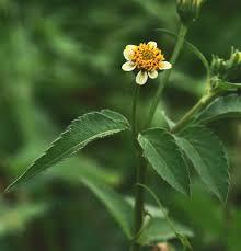 Jual tanaman ajeran atau tumbuhan Ajeran