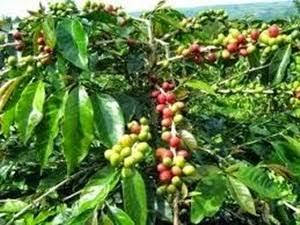 Tumbuhan buah makasar
