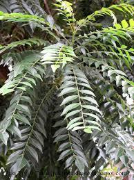 tumbuhan bumbu kare