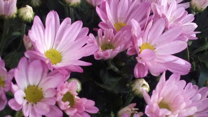 Tanaman bunga seruni