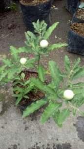 tanaman bnga krismil