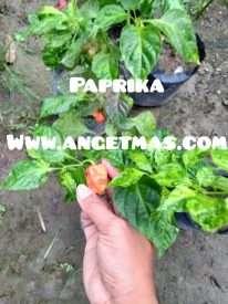 tanaman paprika