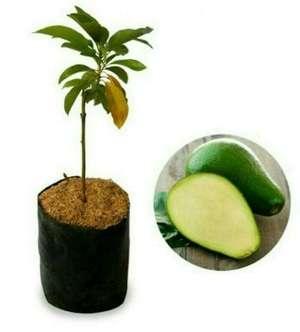 bibit buah alpukat tanpa biji