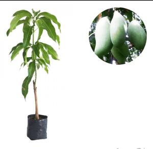 tanaman mangga okyong
