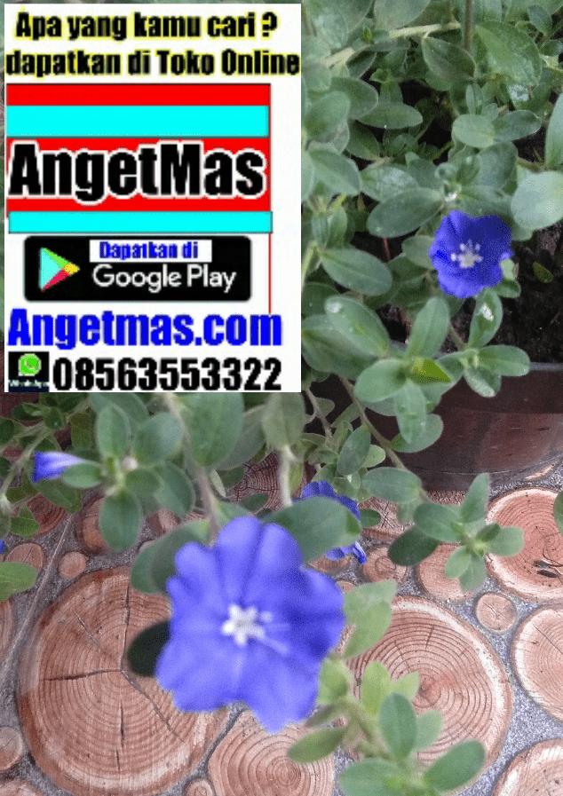 tanaman hias bunga baby blue