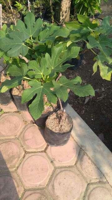 Jual tanaman buah tin