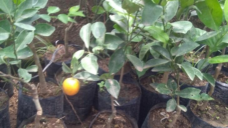 tanaman buah jerk kolomonde