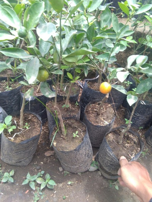 Jual bibit buah jeruk kolomonde