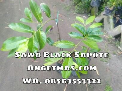 Jual bibit tanaman buah sawo black sapote