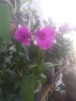 Bibit bunga anggrek dendro