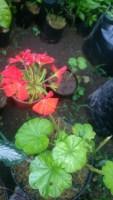 Tumbuhan geraniun merah