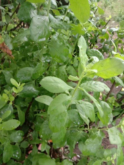 Jual daun beluntas dan jual bibit tanaman Daun beluntas
