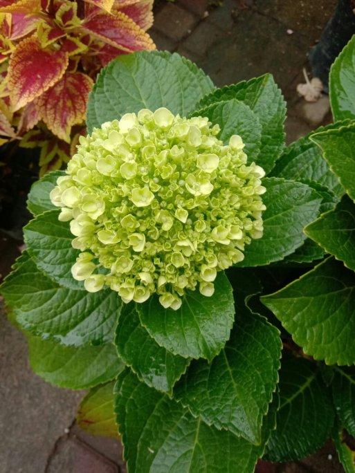 Jual bibit tanaman Hias bunga Panca warna