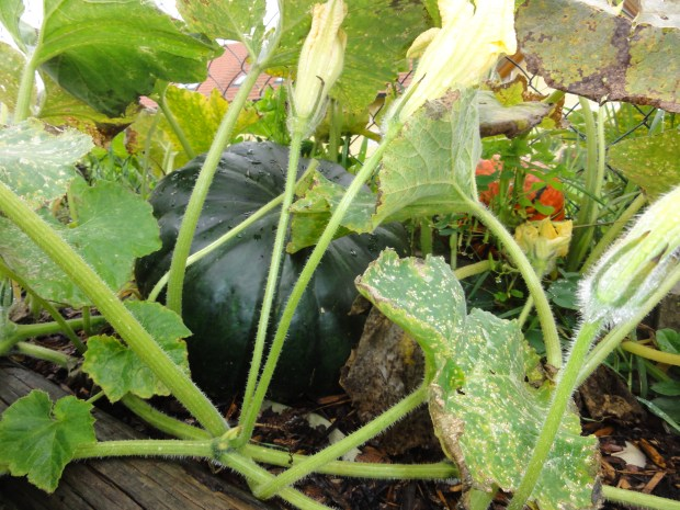 Muskatkürbis im Garten
