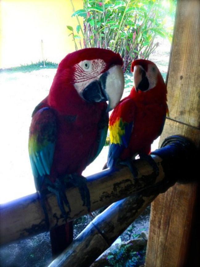 Dominican Republic Parrets