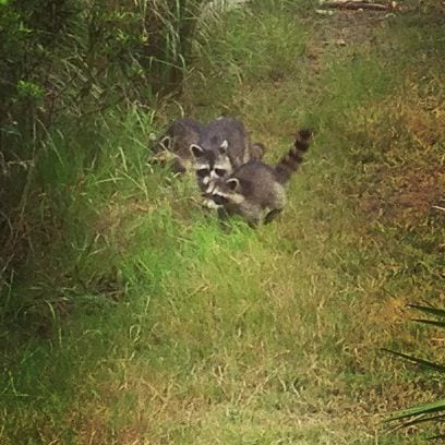 My favorite moment of this trip: meeting a mama and two baby raccoons while out for a bike ride